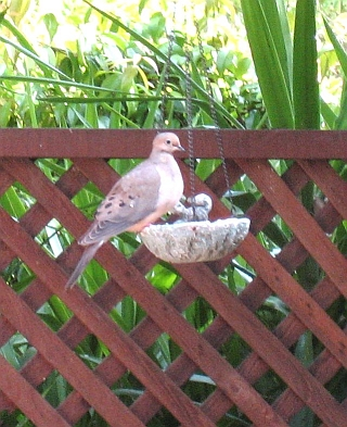 mourning-dove1-resize1.jpg