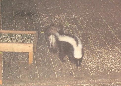 skunk-resize.jpg