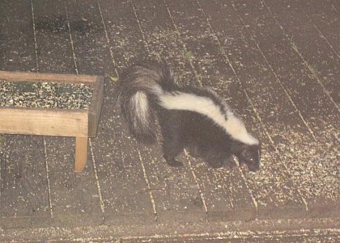 skunk1-resize.jpg
