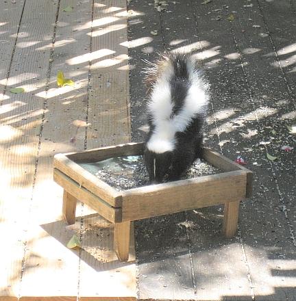 skunk3-resize.jpg