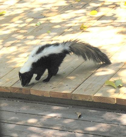 skunk4-resize1.jpg