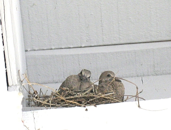 two-almost-grown-doves-resize.jpg