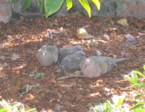 mourning-doves-on-ground-resized1.jpg
