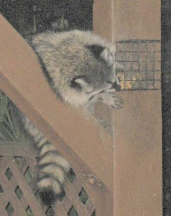 racoon-and-suet-resize2.jpg