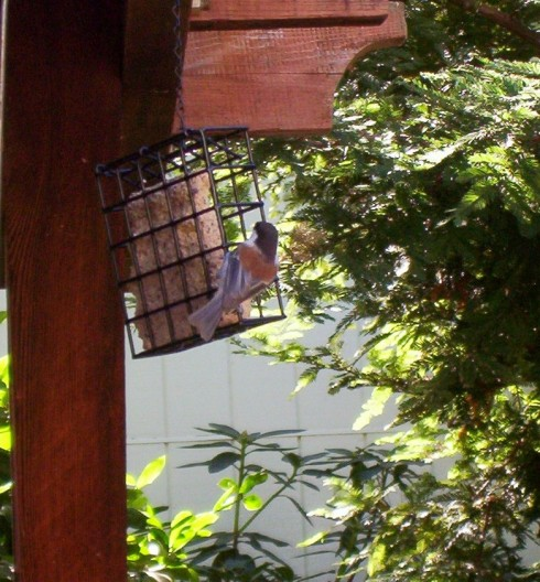 chestnut-back-chickadee-resize