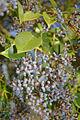 ligustrum_lucidum_berries