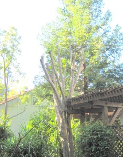 privet-tree-resize