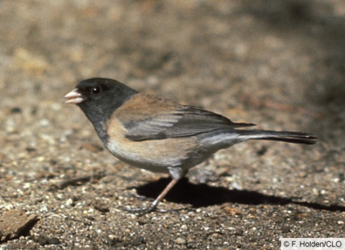 junco-dark-eyed-oregon-form