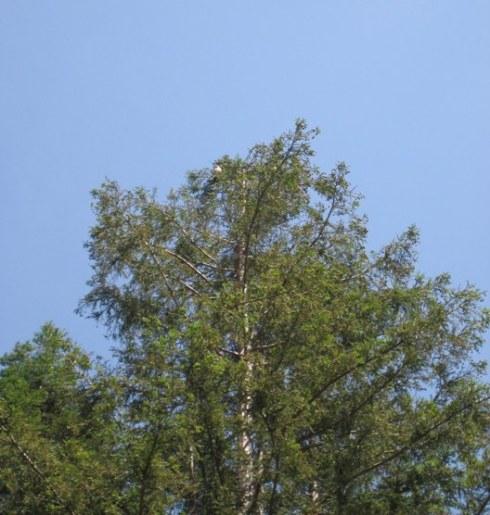 cooperhawk-treetop-resize