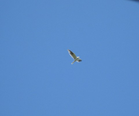 black-shouldered-kite-flying-resize1