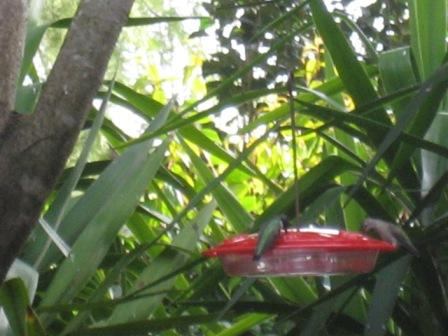 Male and Female Anna's Hummingbirds