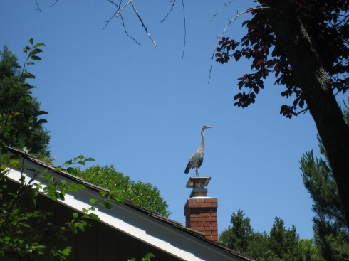 Great Blue Heron in Northern California
