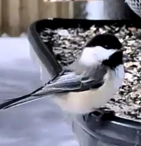 chickadee-thumbnail1-290x300