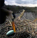 great-blue-heron-egg