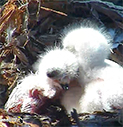 red-tailed-hawk-chicks