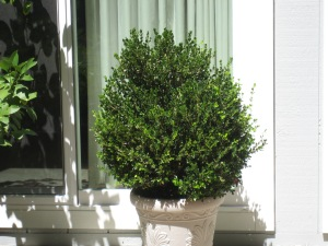 boxwood-bush