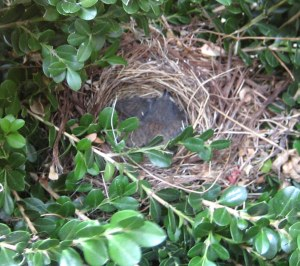 junco-baby-birds-nest2
