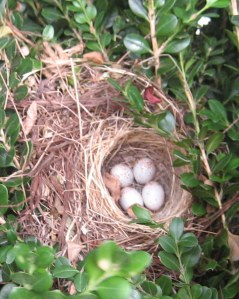 junco-eggs