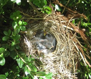 junco-babies-with-feathers-4-7-2014