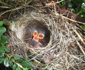 junco-hatchlings-three-mouths-4-2014