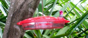 hummingbird-annas-3-19-2012